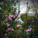 木蓮の花と雪