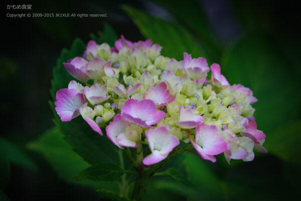 3部咲きの紫陽花