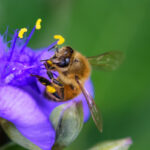 オオムラサキツユクサとハチ