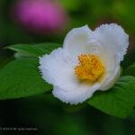 ナツツバキと紫陽花