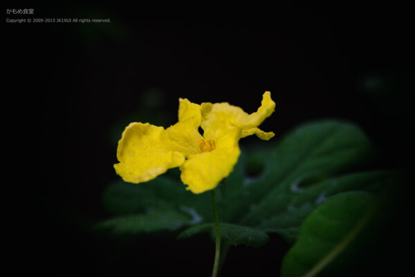 ゴーヤーの花 その1