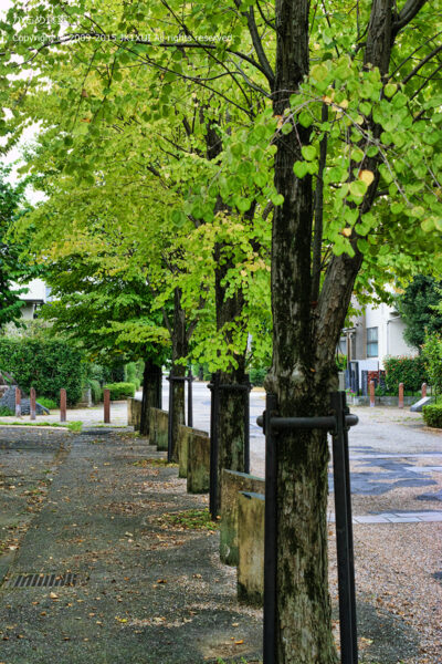 街並木 イチョウ