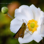 秋明菊とオオチャバネセセリ